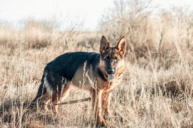 舌を出したかわいいジャーマンシェパードの子犬。フィールドの上を歩く犬。秋のシーズン。家畜。