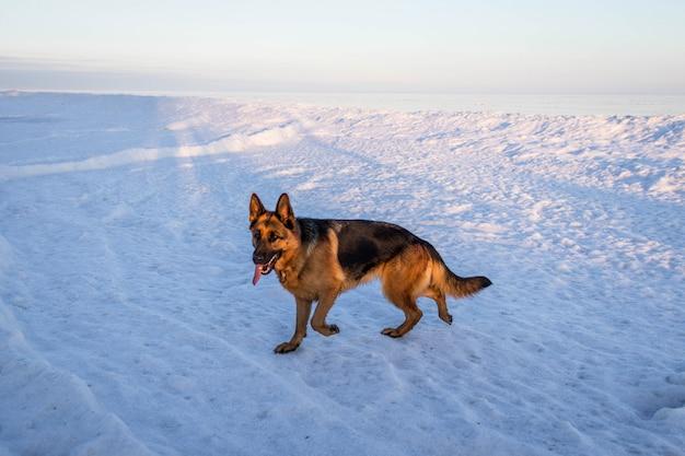 Собака немецкой овчарки гуляя замороженным пляжем. красивый зимний морской пейзаж. вид на океан. тема природы.