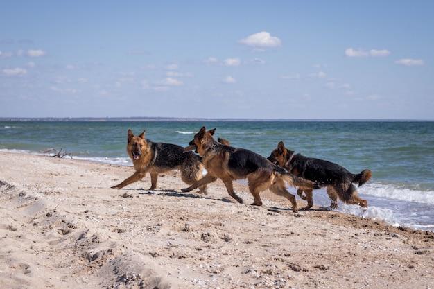 Немецкие овчарки веселятся на пляже. вид на море. домашний питомец. домашнее животное. летнее время