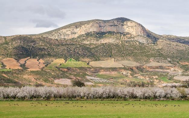 花の咲くアーモンドの木のある風景