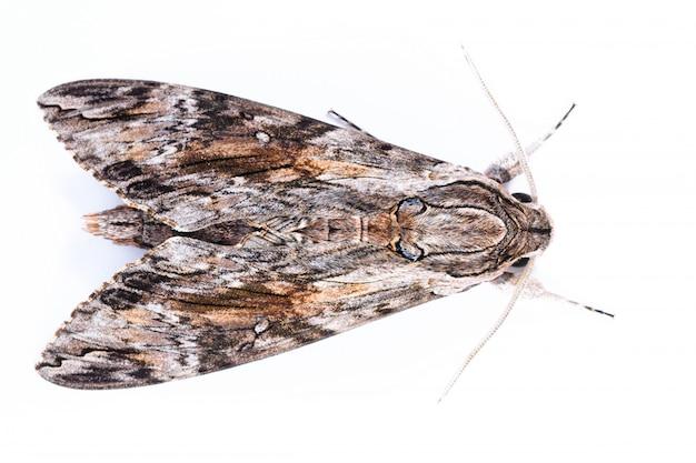Ястребиная бабочка на белом