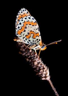Бабочка спит ночью на растении, мелитая дидима