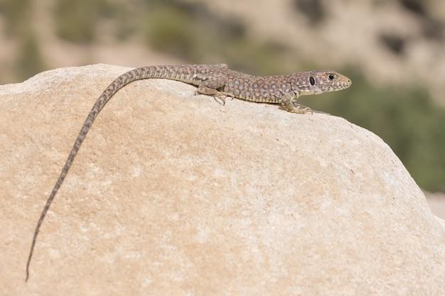 Молодая ящерица сьерра-невады (тимон неваденсис) на скале