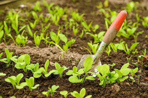 若いホウレンソウの緑の新芽は、温室で平行な列で成長します。