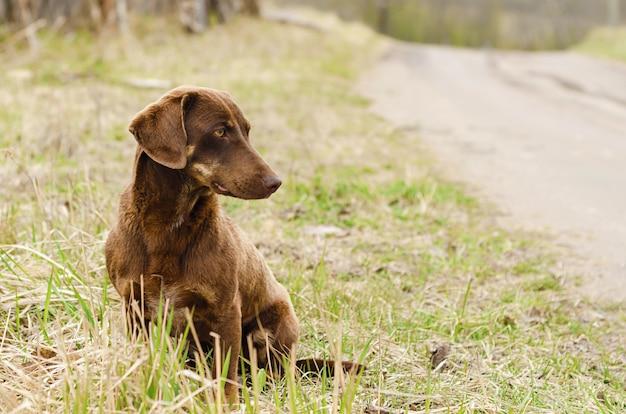 悲しい孤独な深刻な茶色の犬のダックスフントが遠くを見ています。その所有者を待っているホームレスの野良動物。愛、動物のケアの概念
