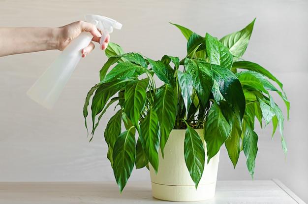 女性のハンドケア、水やり、室内植物へのスプレー。スパティフィラムまたは女性の幸福。家庭でのガーデニングの概念。エコフレンドリーでエコロジカルな家