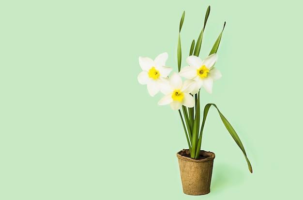 泥炭ポットで黄色い水仙を育てる品種の花。球根植物、春のガーデニング
