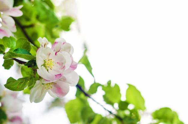 Весенний сад, цветущие яблони. цветы на белом фоне.