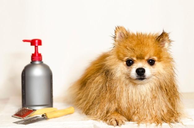 ジャーマンスピッツのグルーミング。シャンプー、髪の長い犬用のコンディショナー。ポメラニアンスピッツを洗浄します。