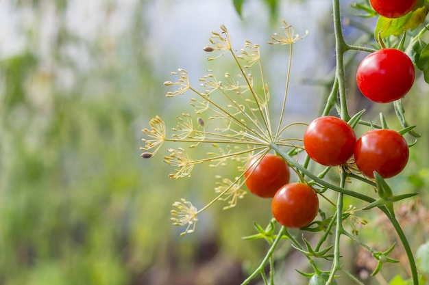 温室で熟した、未熟のチェリートマトの束。自家製、ガーデニング、農業のコンセプト。自然、環境の背景。