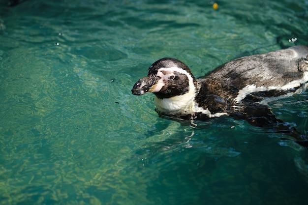 フンボルトペンギンまたは南アメリカペンギンを閉じます。