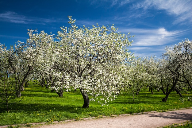 Весенние сады с цветущими яблоками и вишней