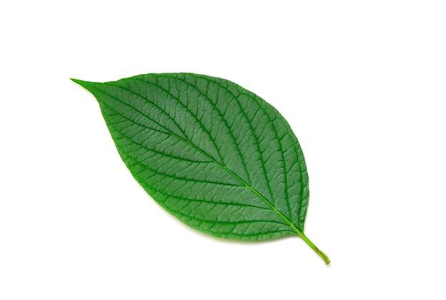 Зеленый лист на белом
