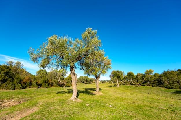 Дикие оливковые деревья на проселочной дороге в греции