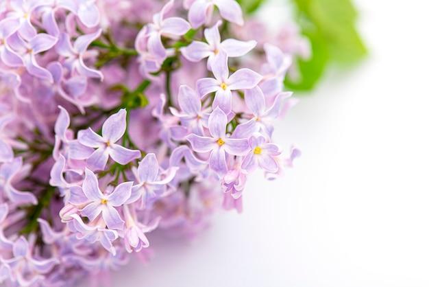 ライラックのクローズアップマクロ花。分離された咲くライラックのブランチ