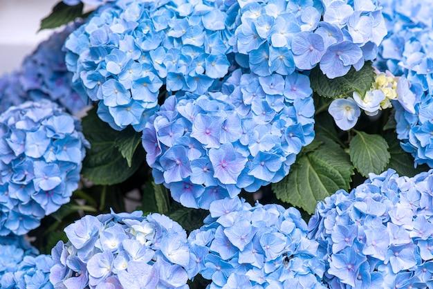 青いアジサイやオルテンシア、アジサイマクロフィラのクローズアップの素晴らしい花