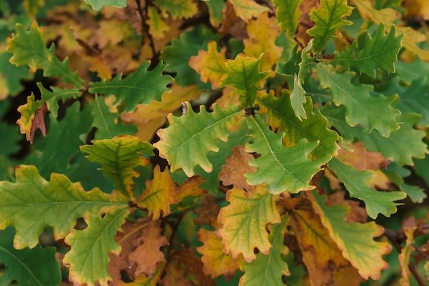 森の秋にオレンジ色の緑のオークの葉