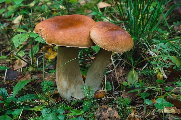 Белый гриб в лесу осенью