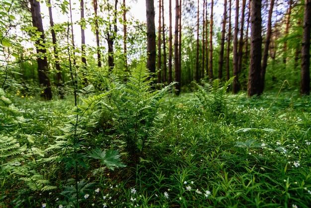 草原の森のシダと開花ステラリアホロステア