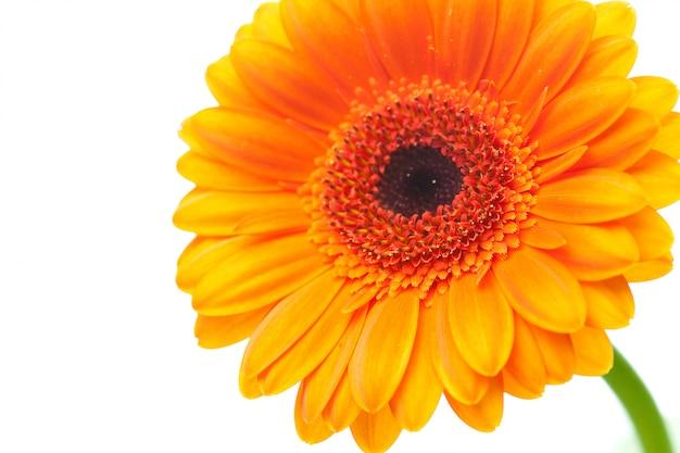 白で隔離されるオレンジのガーベラの花