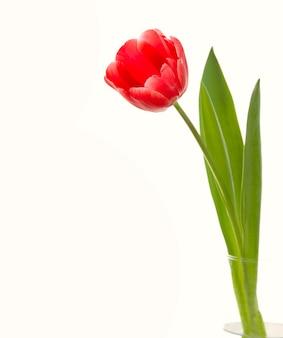 Красный тюльпан крупным планом.