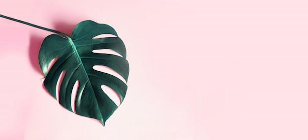 Тропические листья монстера на розовом фоне.