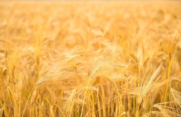 小麦のクローズアップ。