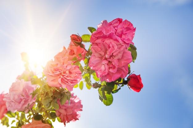 Розовый сад над небом.