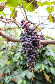 Виноград на плантациях в таиланде.