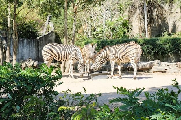 Зебры едят еду в зоопарке.