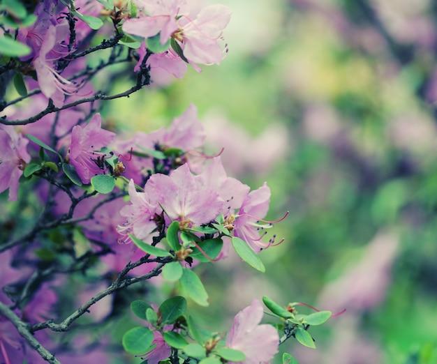 Красивые фиолетовые цветы в саду