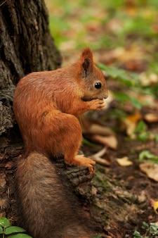 Красная белка в осеннем лесу