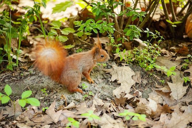 Красная евразийская белка бежит в парке
