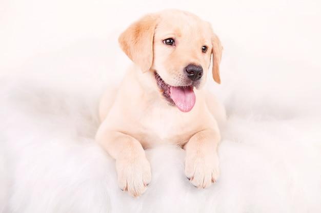 描画犬、子犬ラブラドール、白の肖像画
