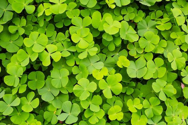 グリーンクローバーの葉の背景