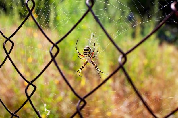 黄色の縞模様のクモは、金属グリッドのクローズアップでウェブを編んだ