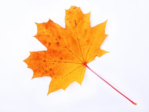 Осенний желто-оранжевый кленовый лист на белом фоне, символ канады