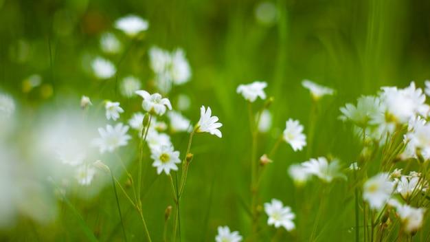 Красивые белые лесные цветы на зеленом фоне