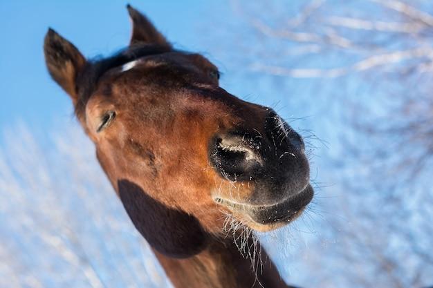 冬のパドックでの馬。馬の鼻の霜