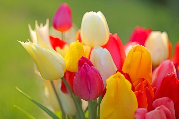 花チューリップ。色とりどりの春のチューリップの花束