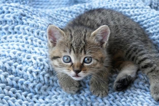 Полосатый маленький шотландский котенок на синей шерсти