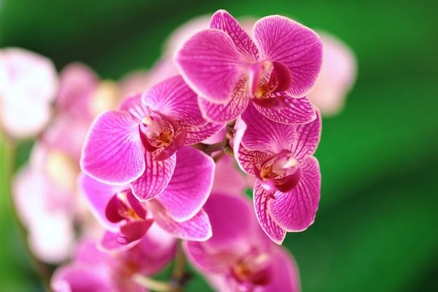 蘭の花。紫色の蘭のマクロ写真