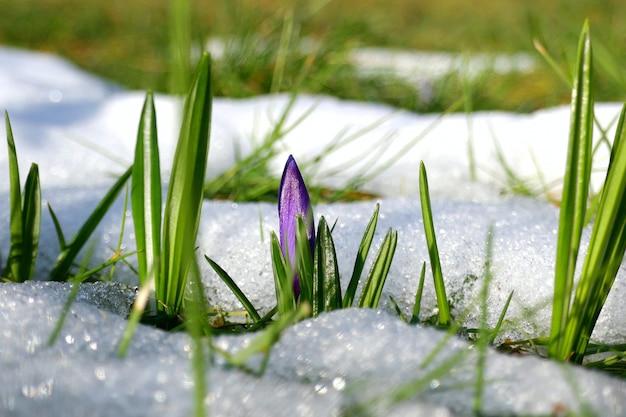 クロッカスの花と雪の中で緑の草。雪の中で花。春の季節