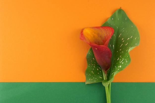 オランダカイウの花。緑の葉とオレンジ色の花