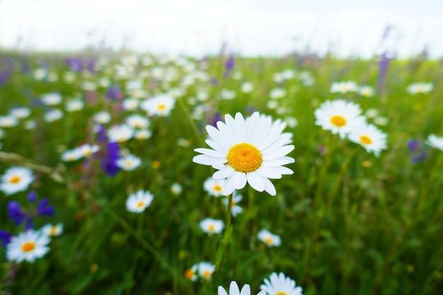 Полевые цветы. цветочное поле с ромашками и сиреневыми колокольчиками.
