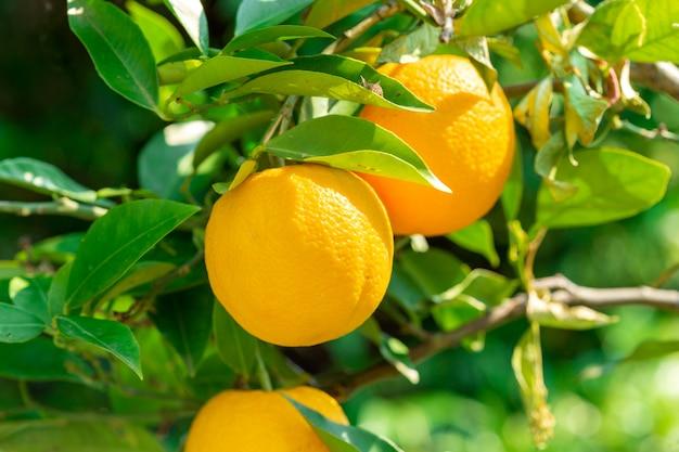 レモングローブの木からぶら下がっているレモンを閉じる