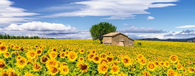 曇りの青い空の上のひまわり畑