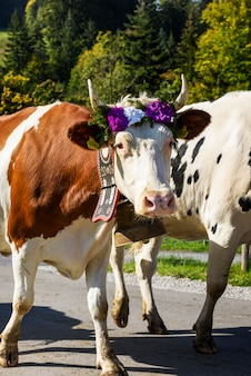 牛との年間の移牧
