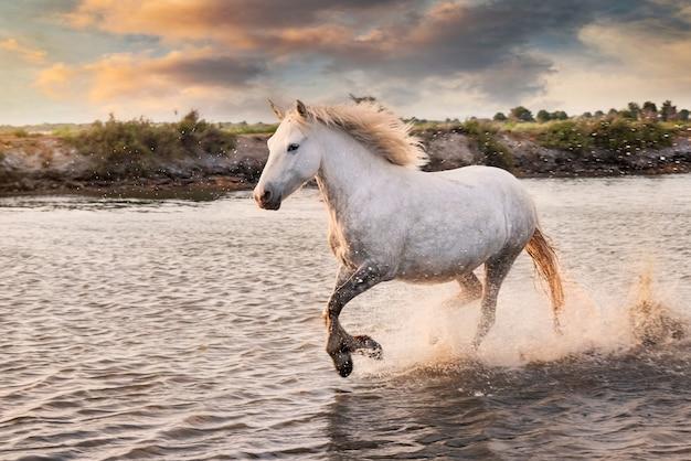 白い馬がビーチで水の中を走っています