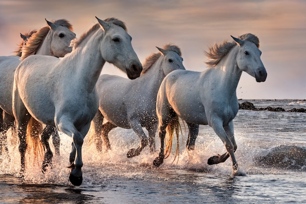 フランス、カマルグの白い馬。